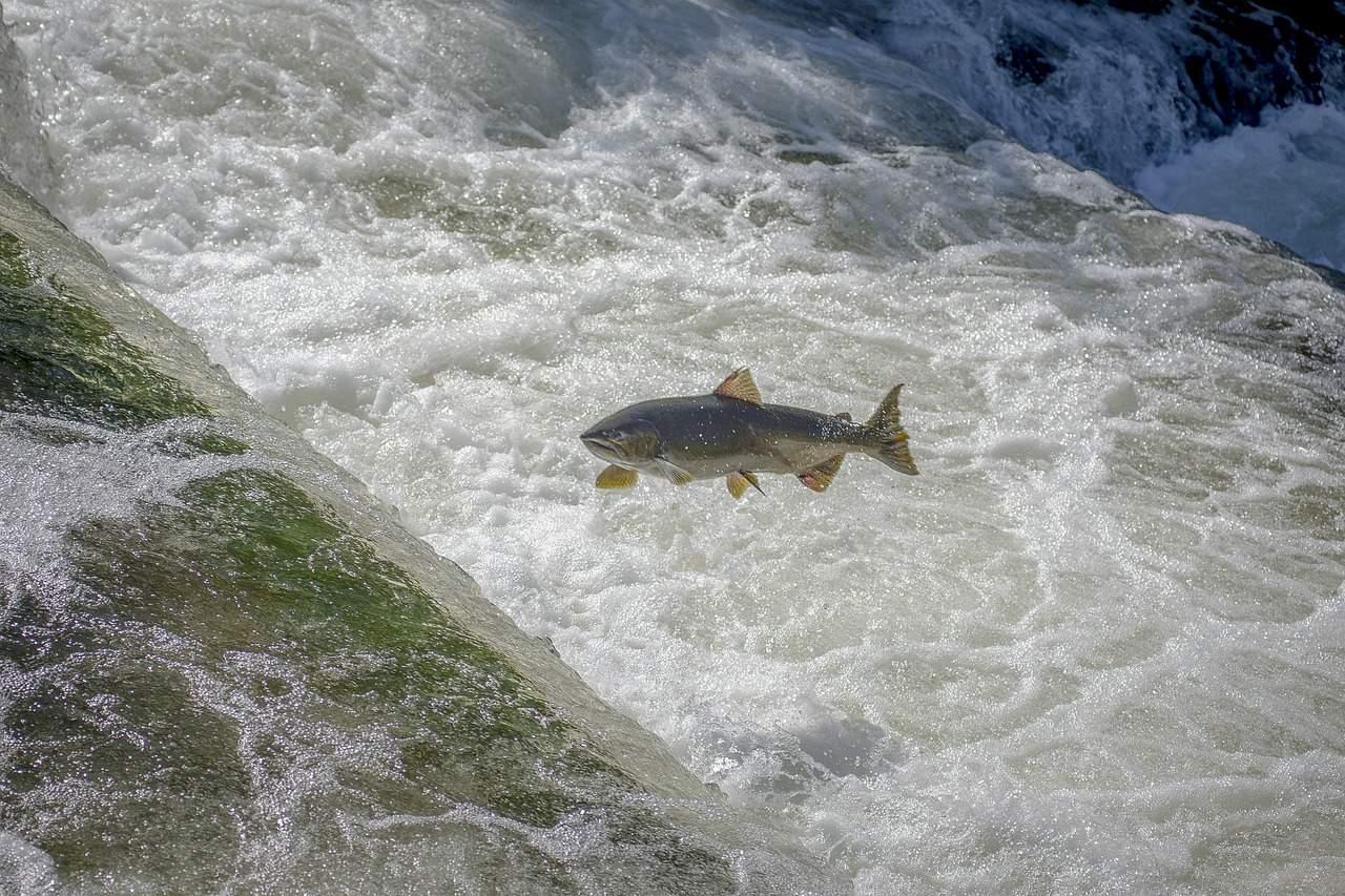 La vida del salmón