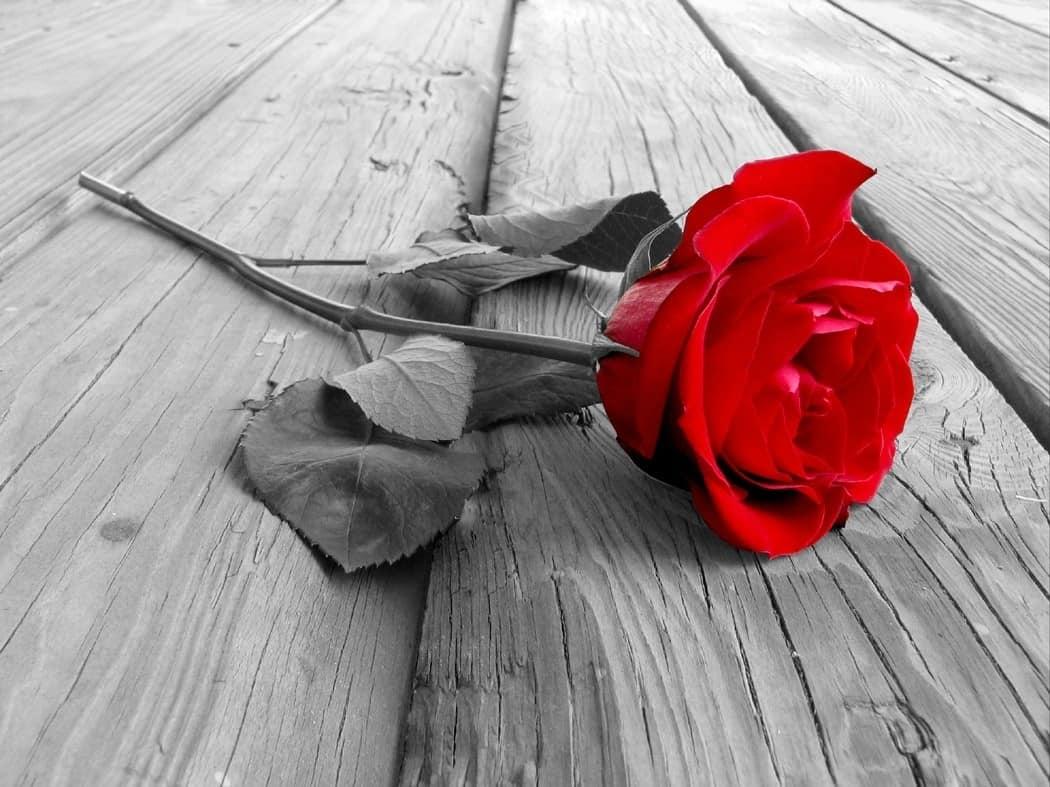 63596fe97a002eab9b90375e49d8c0e6 - ▷ Una rosa roja 📖