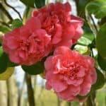 ▷ Flor de invierno 📖