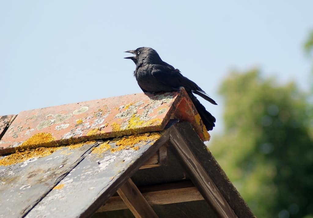 El cuervo agazapado
